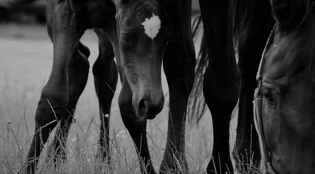Pferdezucht Stürzlinger